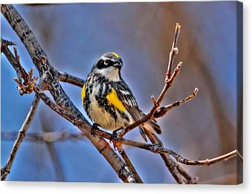 Yellow-rumped Warbler Canvas Print by Larry Trupp