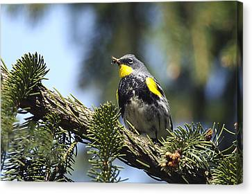 Yellow-rumped Warbler With Grubs Canvas Print by Sharon Talson