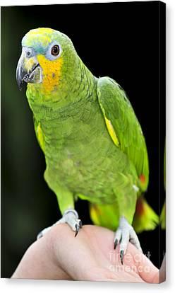 Yellow-shouldered Amazon Parrot Canvas Print by Elena Elisseeva
