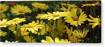 Yellow Splendor Canvas Print
