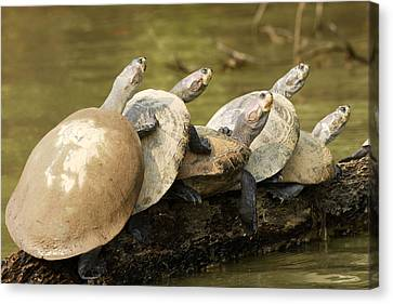 Yellow-spotted Amazon River Turtles Canvas Print by M. Watson