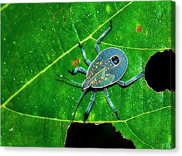 Yellow Spotted Stink Bug Canvas Print by K Jayaram