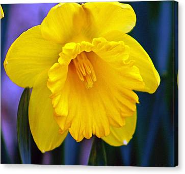 Canvas Print featuring the photograph Yellow Spring Daffodil by Kay Novy