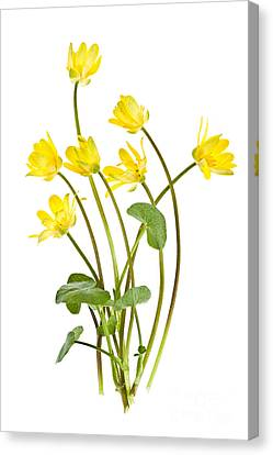 Yellow Spring Wild Flowers Marsh Marigolds Canvas Print