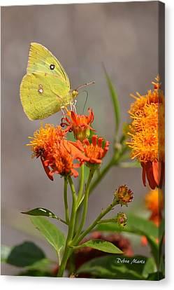 Yellow Sulphur Butterfly Canvas Print by Debra Martz