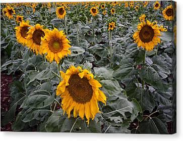 Yellow Sunflower Fields Canvas Print