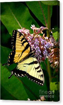 Yellow Swallowtail Butterfly Canvas Print by Amy Cicconi