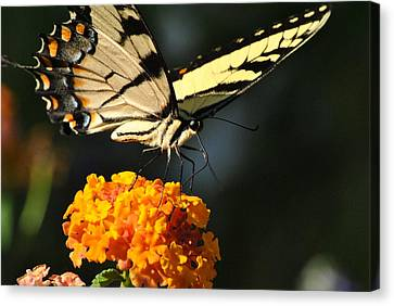 Canvas Print featuring the photograph Yellow Swallowtail by Kelly Nowak