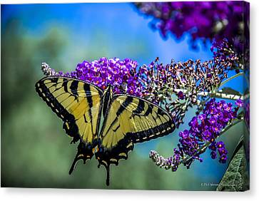Canvas Print featuring the photograph Yellow Swallowtail by Phil Abrams