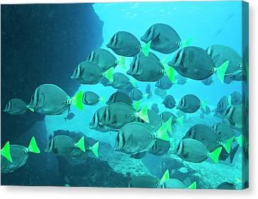 Yellow Tailed Surgeonfish Canvas Print