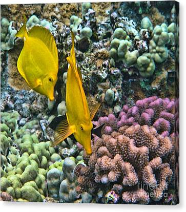 Yellow Tang Pair Canvas Print by Peggy Hughes
