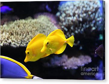 Yellow Tang Tropical Fish 5d24887 Canvas Print by Wingsdomain Art and Photography