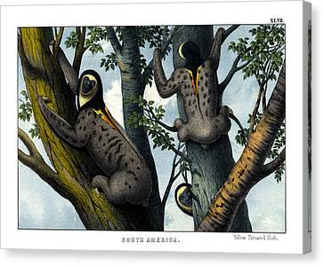 Yellow Throated Sloth Canvas Print