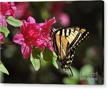 Canvas Print featuring the photograph Yellow Tiger Swallowtail Butterfly by Nava Thompson