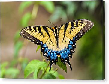 Yellow Tiger Swallowtail Canvas Print by Debbie Green