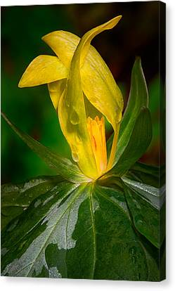Yellow Trillium Canvas Print by Tyson and Kathy Smith