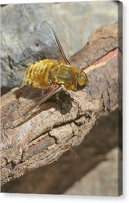 Canvas Print featuring the photograph Yellow True Bee Fly - Bombiliinae by Jivko Nakev