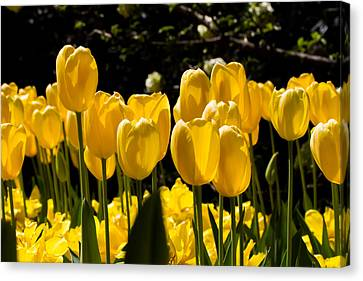 Yellow Tulip Attention Canvas Print