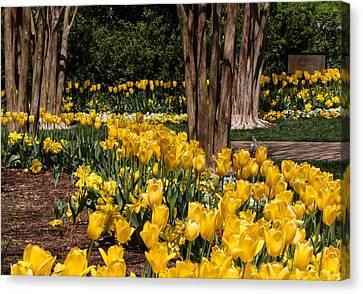 Yellow Tulip Pathway Canvas Print by Paula Ponath