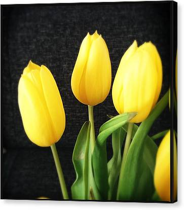 Yellow Tulips Black Background Canvas Print