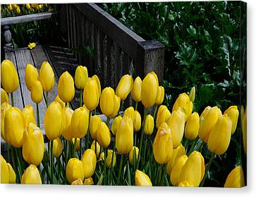 Canvas Print featuring the photograph Yellow Tulips by Haleh Mahbod