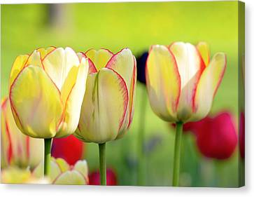 Bokhe Canvas Print - Yellow Tulips by Tommytechno Sweden