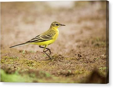 Yellow Wagtail Motacilla Flava Canvas Print by Photostock-israel