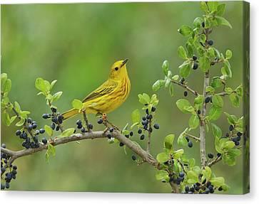 Yellow Warbler (dendroica Petechia Canvas Print