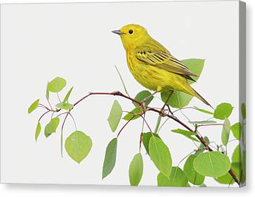 Yellow Warbler, Spring Aspen Leaves Canvas Print