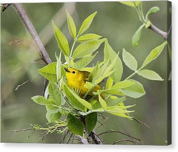 Yellow Warbler Surprise Canvas Print by Dan Sproul