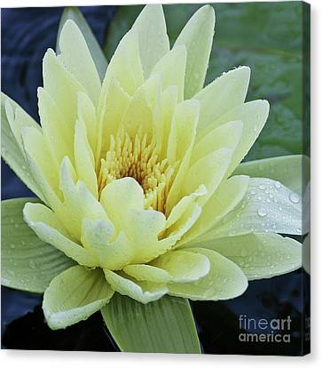 Yellow Water Lily Nymphaea Canvas Print by Heiko Koehrer-Wagner