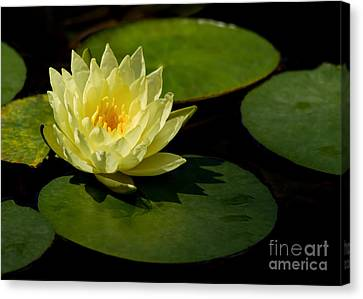Yellow Water Lily Sitting Pretty Canvas Print by Sabrina L Ryan