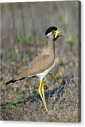 Yellow-wattled Lapwing Vanellus Canvas Print
