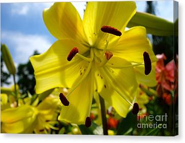 Yellow Whopper Lily 2 Canvas Print