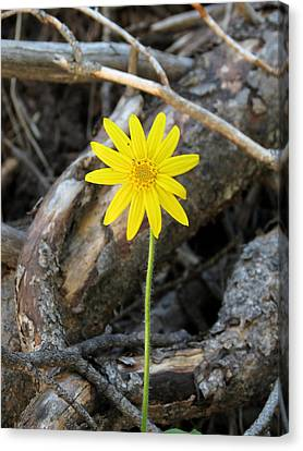 Yellow Wildflower Canvas Print by Laurel Powell