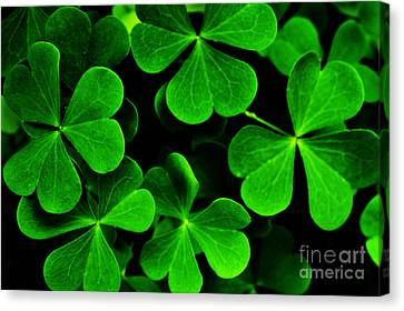 Yellow Wood Sorrel Canvas Print by Thomas R Fletcher