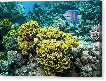 Yellowbar Angelfish Over Lettuce Coral Canvas Print by Georgette Douwma