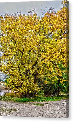 Yellows Canvas Print by Baywest Imaging