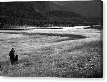 Bison Heard Canvas Print - Yellowstone Bison Wyoming by Aidan Moran