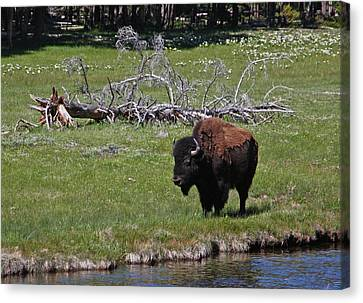 Yellowstone Bison By Nez Perce Creek Canvas Print