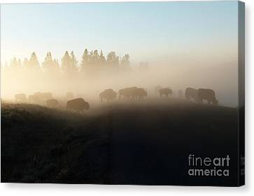 Yellowstone Bison In Early Morning Fog Canvas Print by Bob and Nancy Kendrick