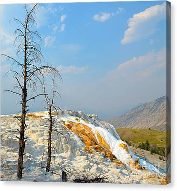 Yellowstone Canary Spring Canvas Print by Debra Thompson