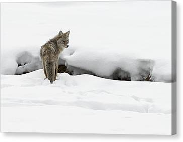 Yellowstone Coyote Canvas Print by David Yack