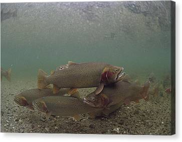 Yellowstone Cutthroat Trout In Stream Canvas Print by Michael Quinton