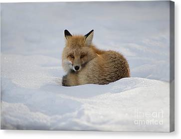 Yellowstone Fox # 2 Canvas Print