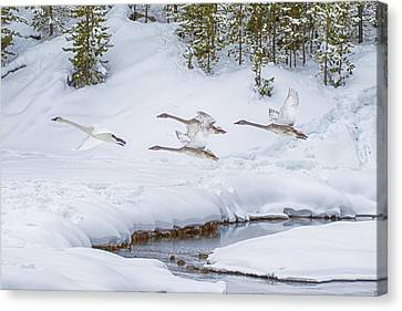 Yellowstone Geese Fly By Canvas Print by David Yack