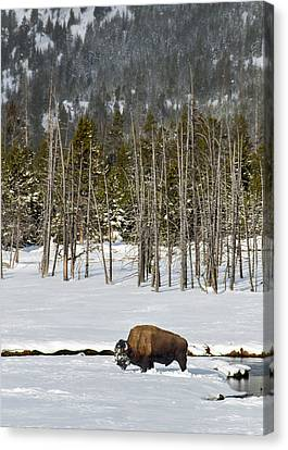 Yellowstone Winter Canvas Print by Alan Toepfer