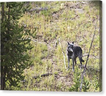 Yellowstone Wolf Canvas Print by Belinda Greb