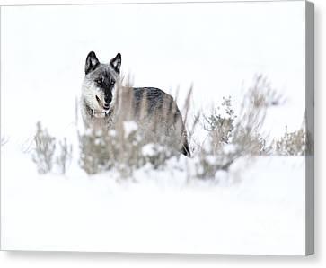 Yellowstone Wolf Canvas Print