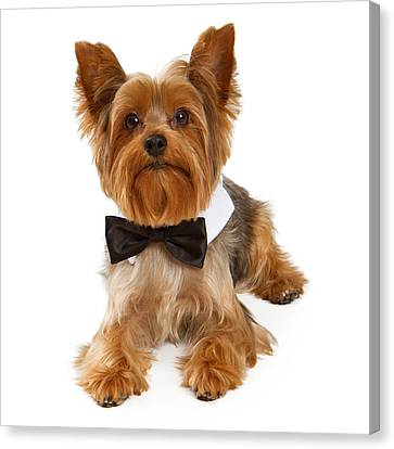 Yorkshire Terrier Dog With Black Tie Canvas Print by Susan Schmitz